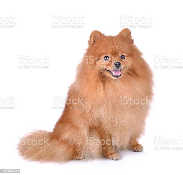 Little red dog lying on a white background picture id612369784?b=1&k=6&m=612369784&s=612x612&h=z00bo gd85j 8cpt9brbnsnx7b9i6p0tatw lsau0ng=