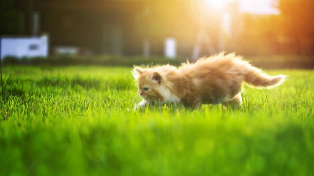 Little red kitten persian cat walking on the green grass at sunset picture id819484350?b=1&k=6&m=819484350&s=612x612&w=0&h=o9iw9oec2yvmpuuvadwo3w4izsxtxoj7b eh0knxrpk=