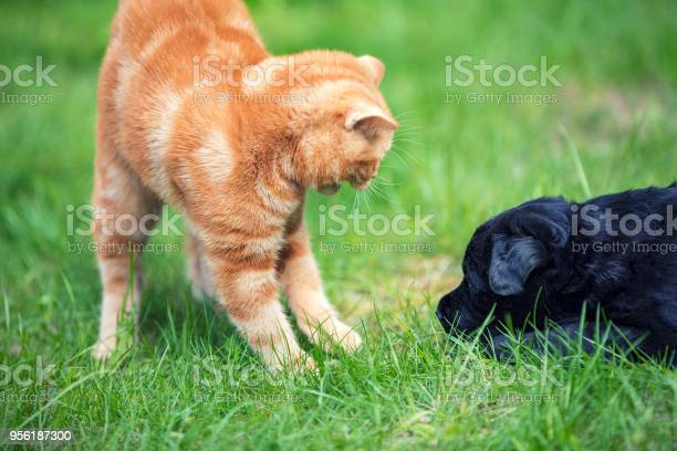 Little red kitten playing with little black labrador retriever puppy picture id956187300?b=1&k=6&m=956187300&s=612x612&h=yryq6o7 wcxddqrrnvlmqb1nxximzjlhsjtqxk wk0m=