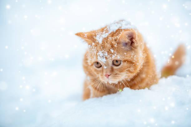 Little red kitten sitting on the snow in winter picture id1086805176?b=1&k=6&m=1086805176&s=612x612&w=0&h=1m mqzuk6jpjqgkrglhon2g bfezonmhhfvimwaq66e=