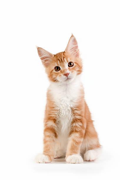 Little red kitten sitting on white background. stock photo