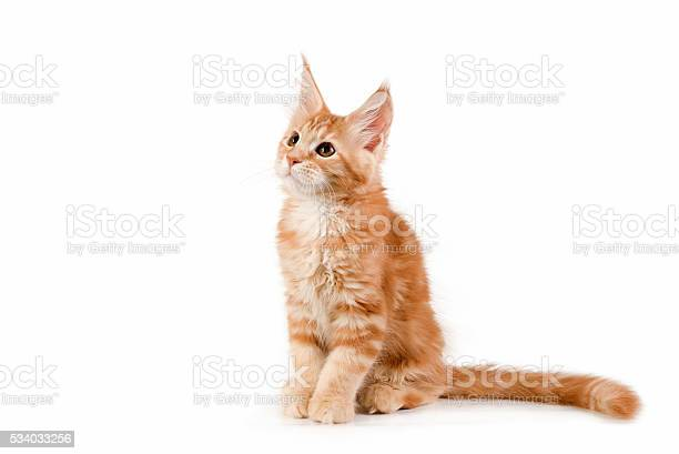 Little red kitten sitting on white background studio photography picture id534033256?b=1&k=6&m=534033256&s=612x612&h=jeb50p4r lrl9zvmmbvcxhpyeugacaxc4nq1kmlhtzq=