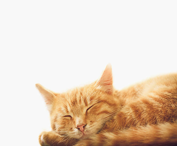 Little red kitten sleeping on white background picture id472059981?b=1&k=6&m=472059981&s=612x612&w=0&h= mybsyfv96myagp6e2xl gs7k7nentom2a74yywvgwy=