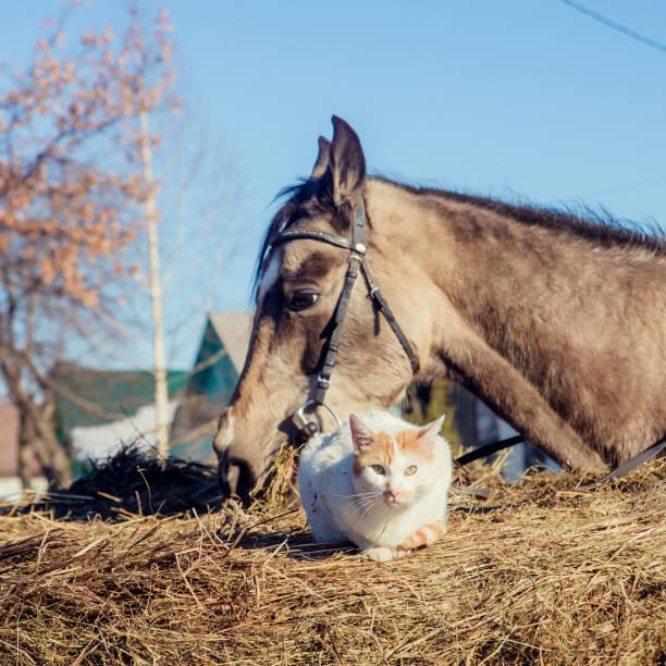 Little red kitten with white shetland pony stock photo