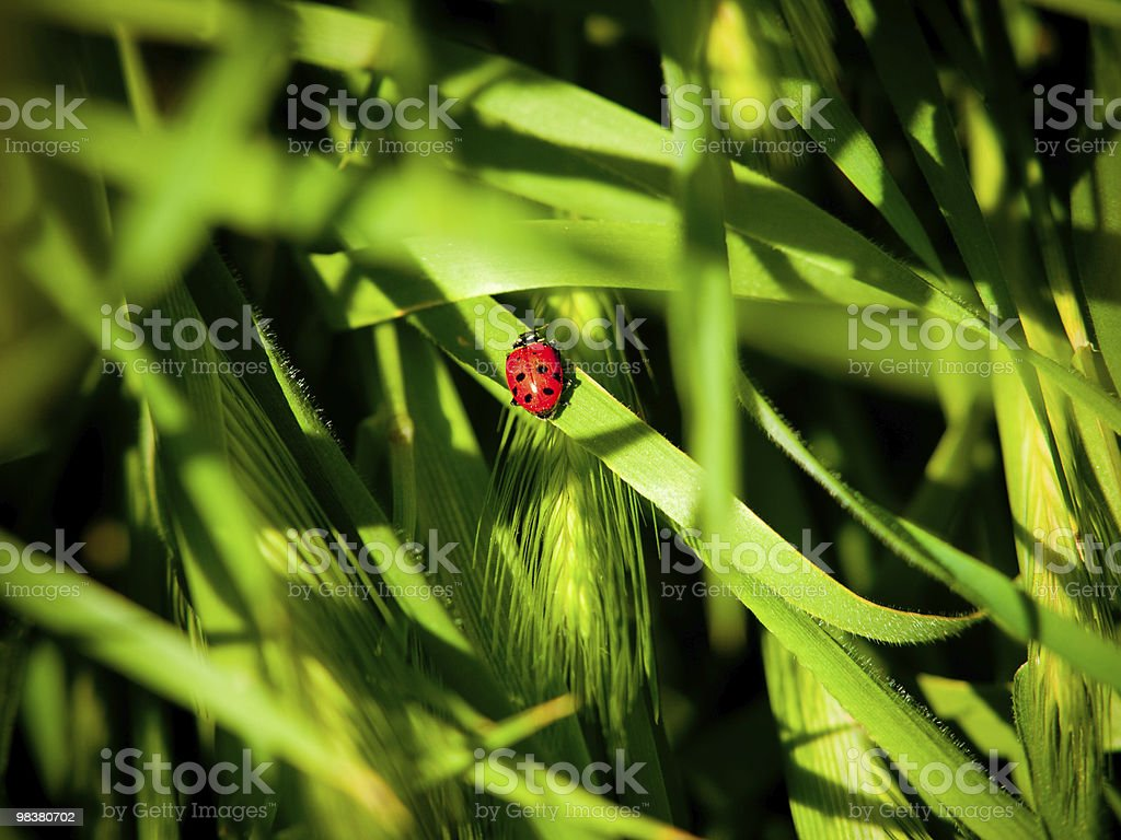 Little Red Ladybug in the Grass royalty-free stock photo