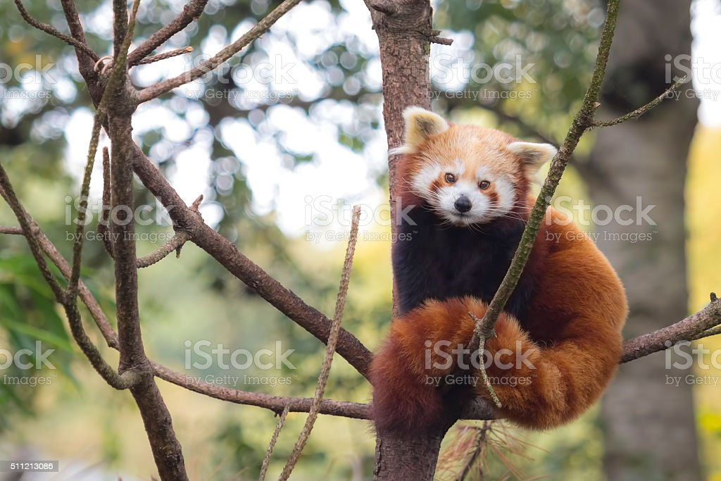 Little red panda, Ailurus fulgens stock photo