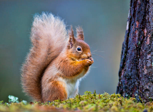 little red - squirrel stock photos and pictures