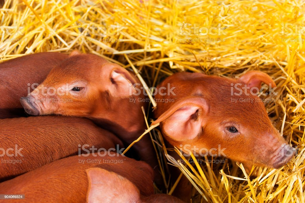 Little red piggys stock photo