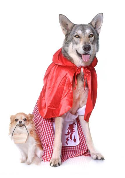 little red riding hood saarloos wolfdog and chihuahua - rotkäppchen kostüm stock-fotos und bilder