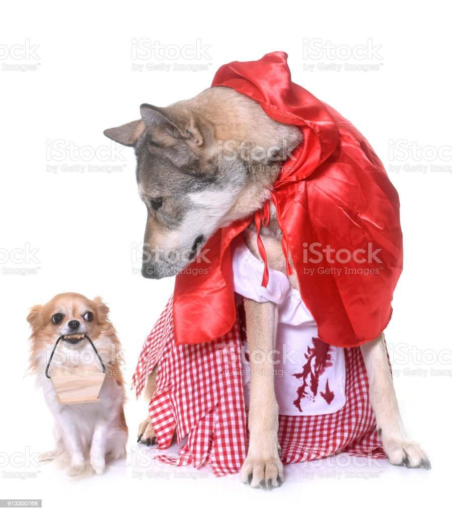 Little Red Riding Hood Saarloos Wolfdog And Chihuahua Stock Photo Wolf Cihuahua Royalty Free