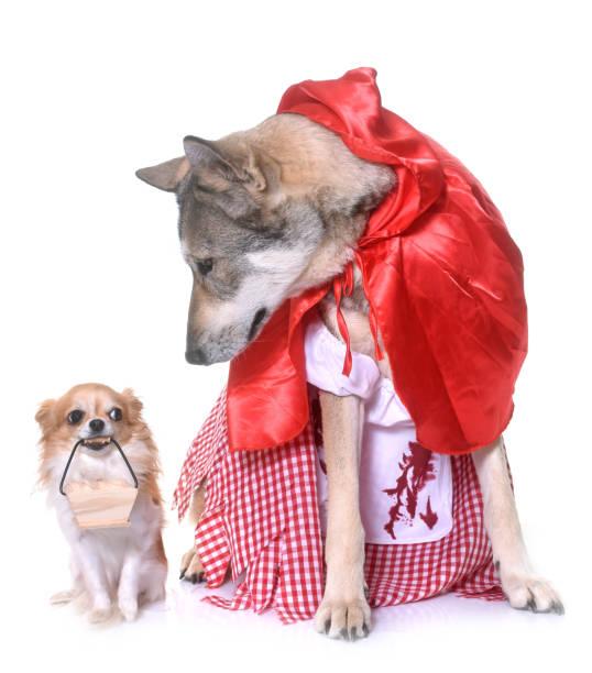 little red riding hood saarloos wolfshundes und chihuahua - rotkäppchen kostüm stock-fotos und bilder