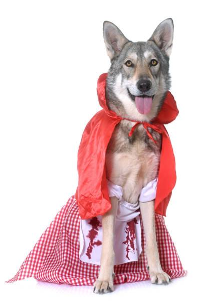 little red riding hood saarloos wolfdog - rotkäppchen kostüm stock-fotos und bilder
