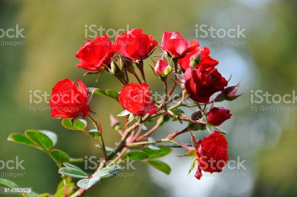 Little red rouses at twig picture id914583626?b=1&k=6&m=914583626&s=612x612&h=yzdorqasbfg5yc0ctkoygl3h8qzmoskxu9dylmzv  q=