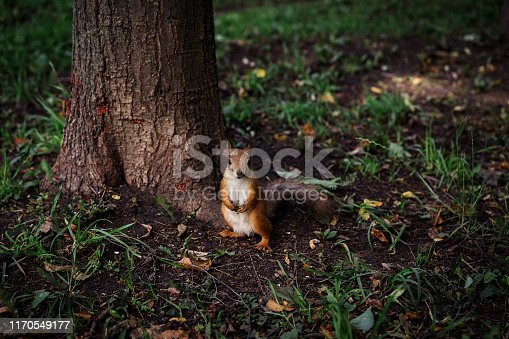 Little Redhead curious squirrel stands under a tree on her hind legs and watches,
