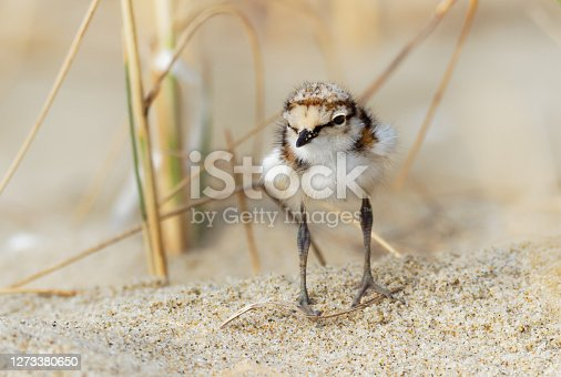 Little Ringed Plover - Charadrius dubius young chick of wader and shorebird species feeding on the sand beach of the Black Sea in Bulgaria. Cute small bird.
