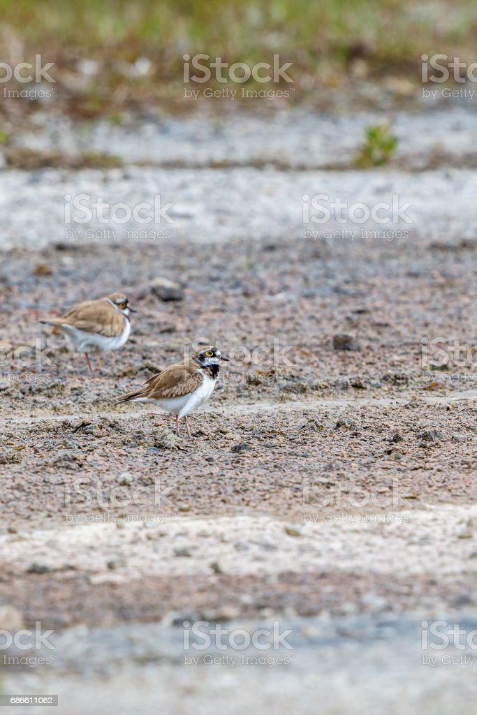 Little ringed plover pairs in the summer royalty-free stock photo