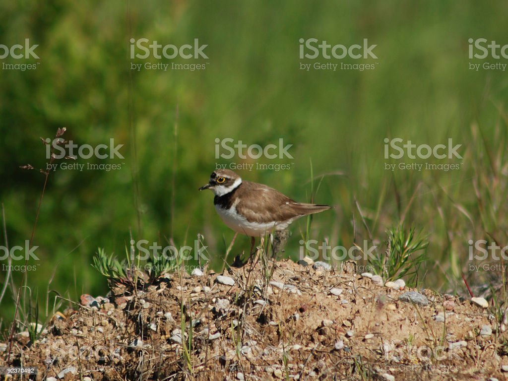 Little Ringed Plover (Charadrius dubius) royalty-free stock photo