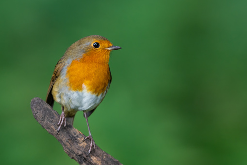 Little Robin Redbreast Perched on a Branch