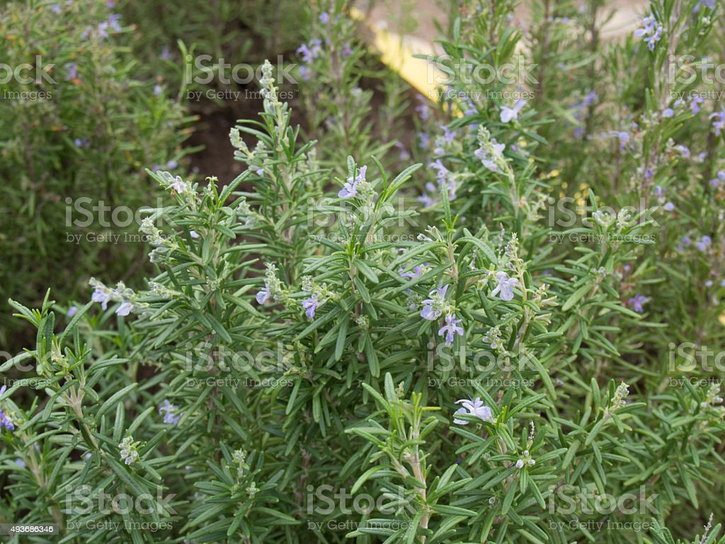 Little Rosemary Plant with Flowers stock photo