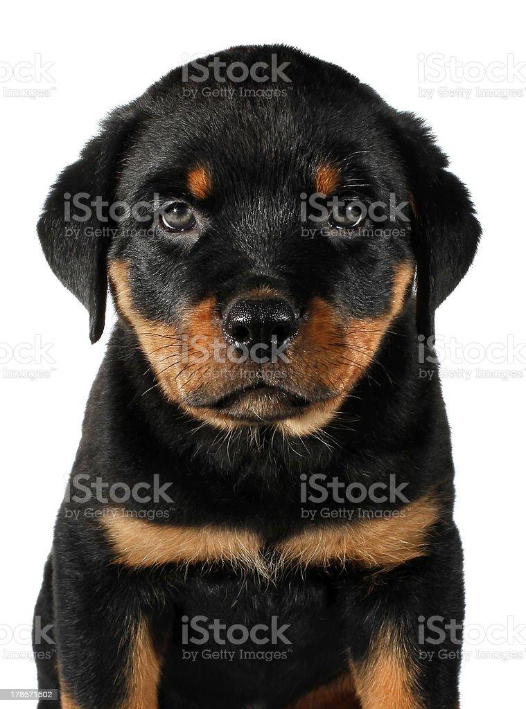 Little Rottweiler puppy dog stock photo