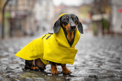 Little sad black and tan dachshund wearing bright yellow raincoat on the pebble pavement at the middle of old town street. Bad weather, walking outdoors, autumn mood
