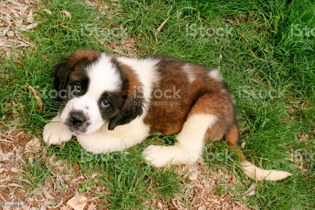 Little saint bernard dog puppy in nature - foto de acervo