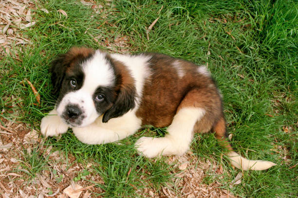 Little saint bernard dog puppy in nature - foto de acervo