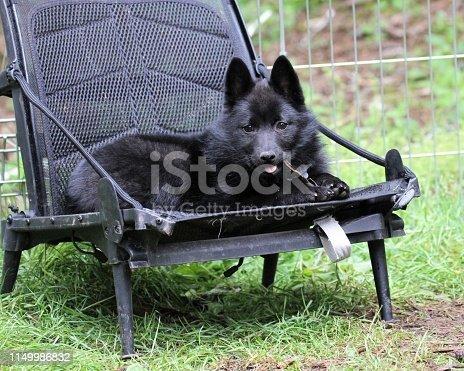 Little Schipperke puppy sits on a chair chewing her stick