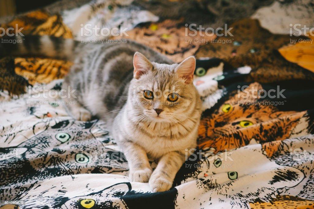 little Scottish straight tabby kitten on the kitty tapestry royalty-free stock photo