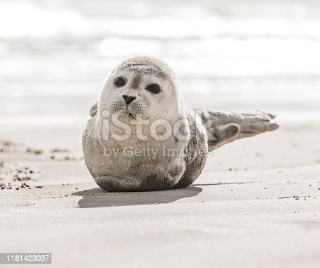 Little seal on the beach