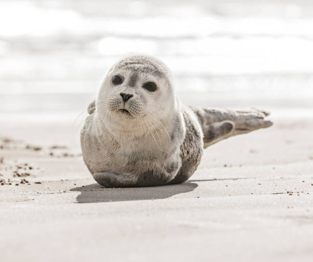 Little seal on the beach Little seal on the beach seal pup stock pictures, royalty-free photos & images