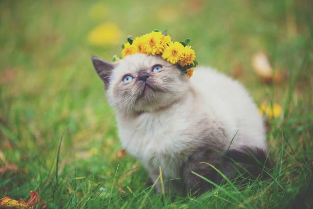 Little seal point kitten sitting on the grass in the autumn garden picture id1091767330?b=1&k=6&m=1091767330&s=612x612&w=0&h=2stj2ydf8zenta0sbf0f1patnyakd0sw11kafajvpn4=