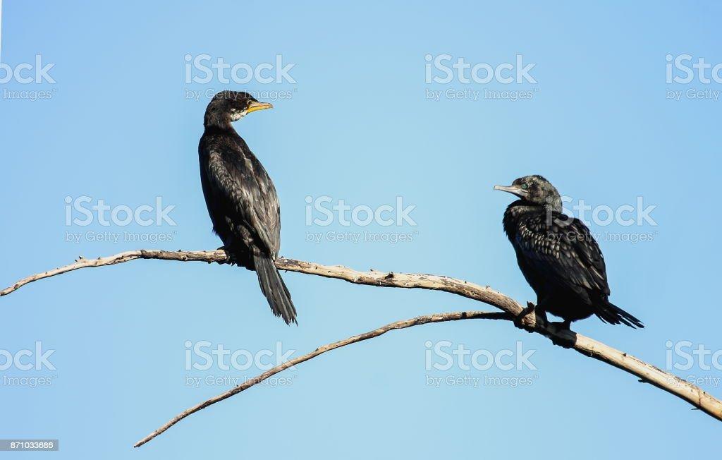 A Little Shag (Phalacrocorax melanoleucos) sits alongside a Little Black Shag (Phalacrocorax sulcirostris) stock photo