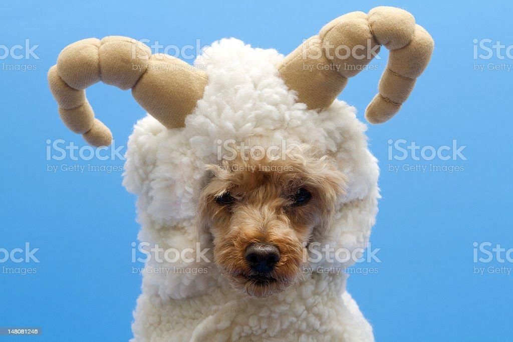 Little Sheep stock photo