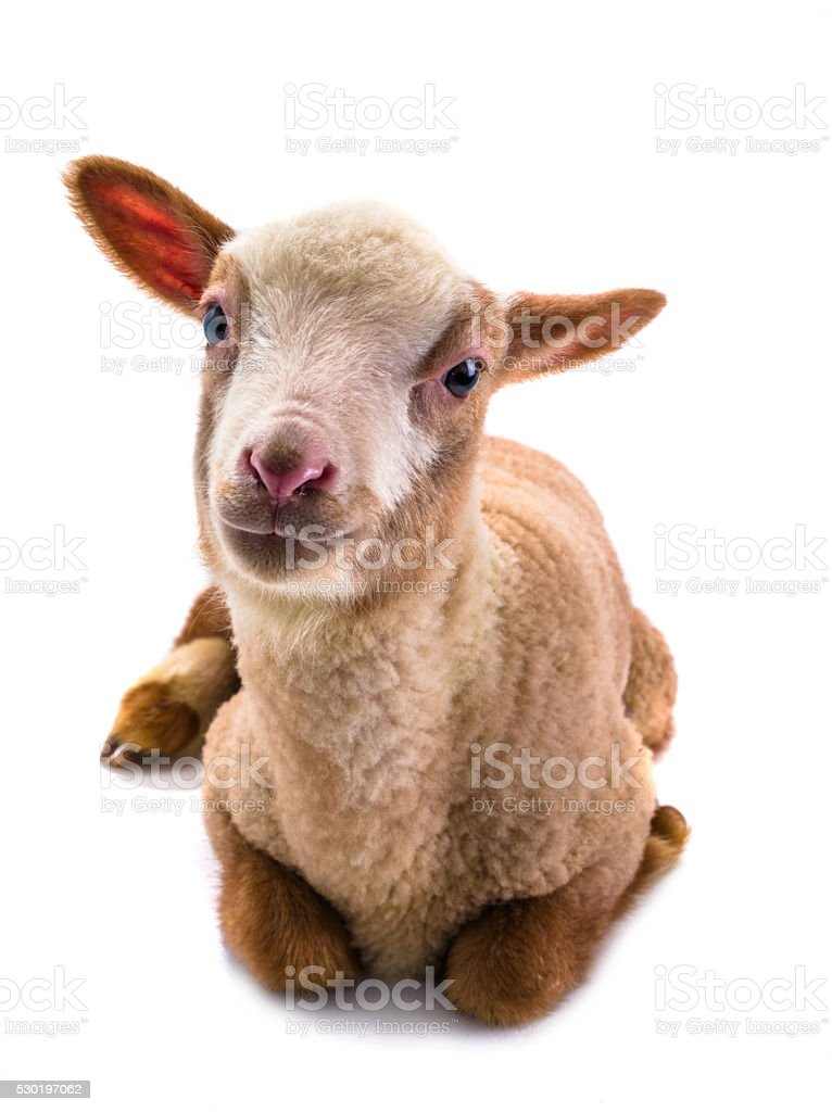 little sheep stock photo