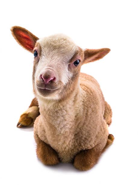 little mouton - Photo