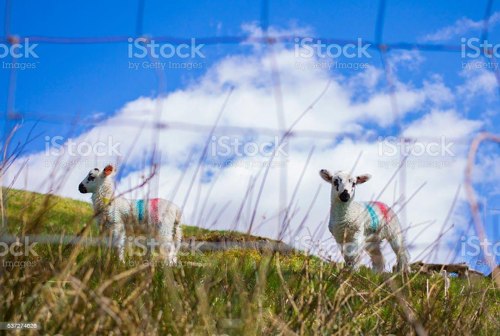 Little sheeps stock photo