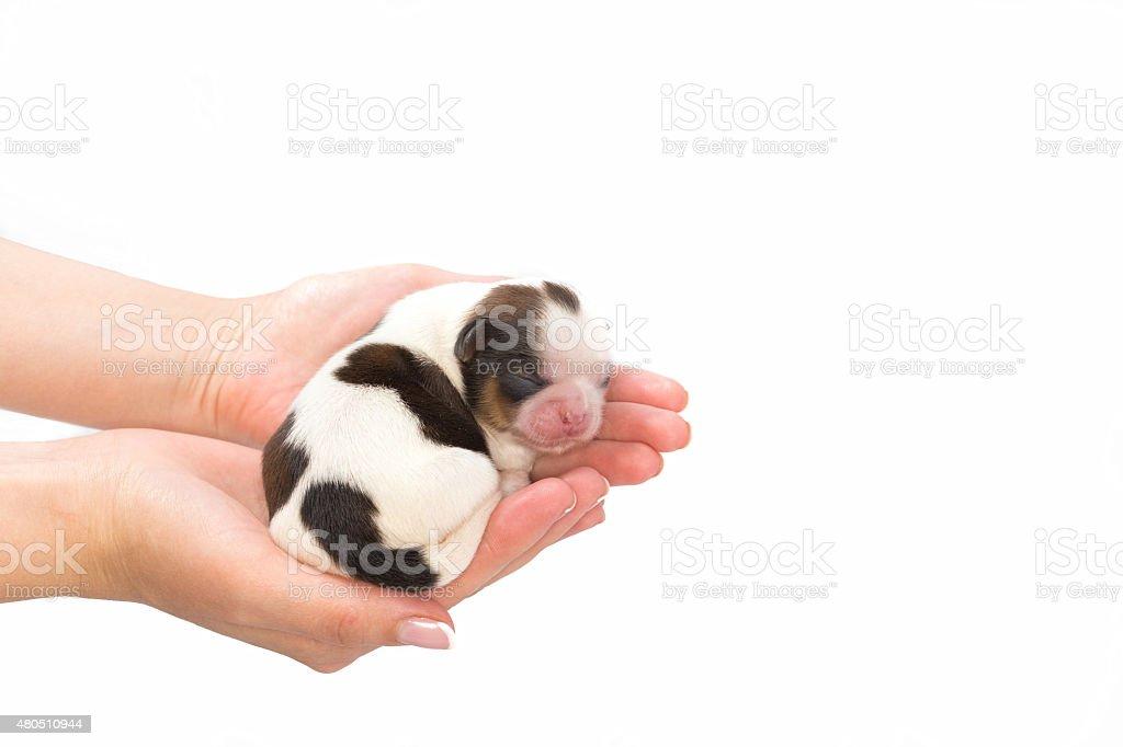Little shih tzu dog pup sleeping at the human hands stock photo