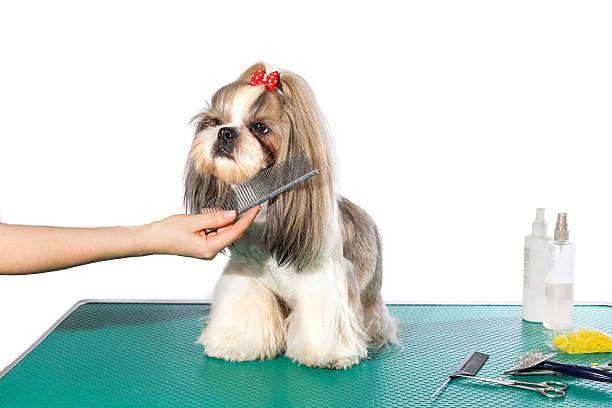 Little shih-tzu Hunde im groomer's Hände mit Kamm – Foto
