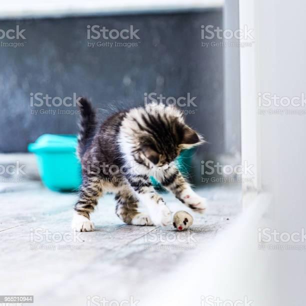 Little siberian breed cat playing picture id955210944?b=1&k=6&m=955210944&s=612x612&h=b6v8jnwb3evalfhmz pbfils zw2qvde1zu5108swf8=