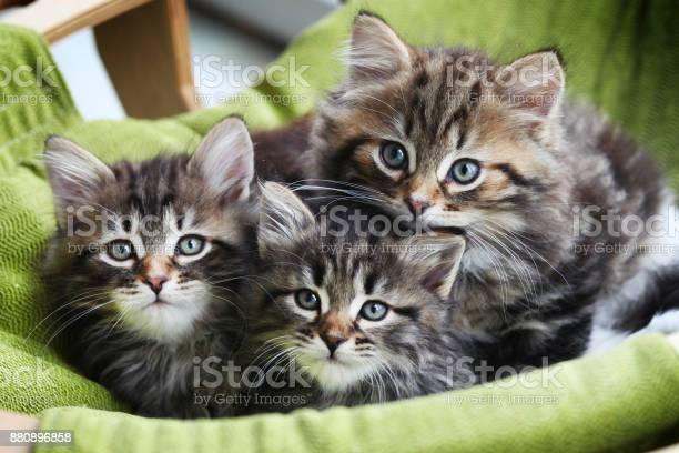 Little siberian domestic kittens sitting in a basket picture id880896858?b=1&k=6&m=880896858&s=612x612&h=tdgip7wjgoc9sjsmeuccvji5 vm5cyt zo wi5ecrhs=