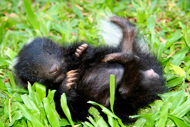 little skunk - skunk stock photos and pictures