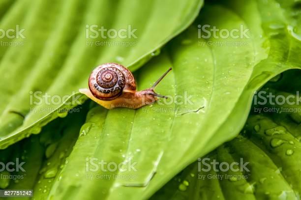 Little snail crawling on green leaf with drops of water on a sunny a picture id827751242?b=1&k=6&m=827751242&s=612x612&h=1tyd5 o0jiby hjawpxpq62fga3 mlllkzauuolj2yq=