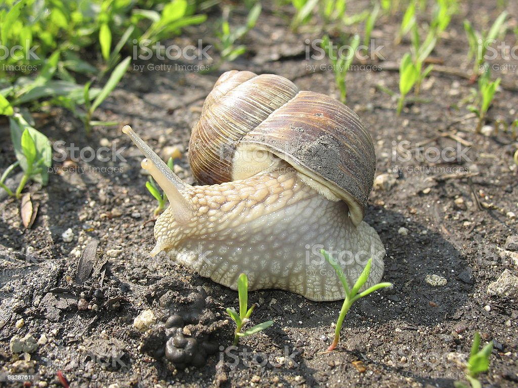 Little snail in the garden royalty-free stock photo