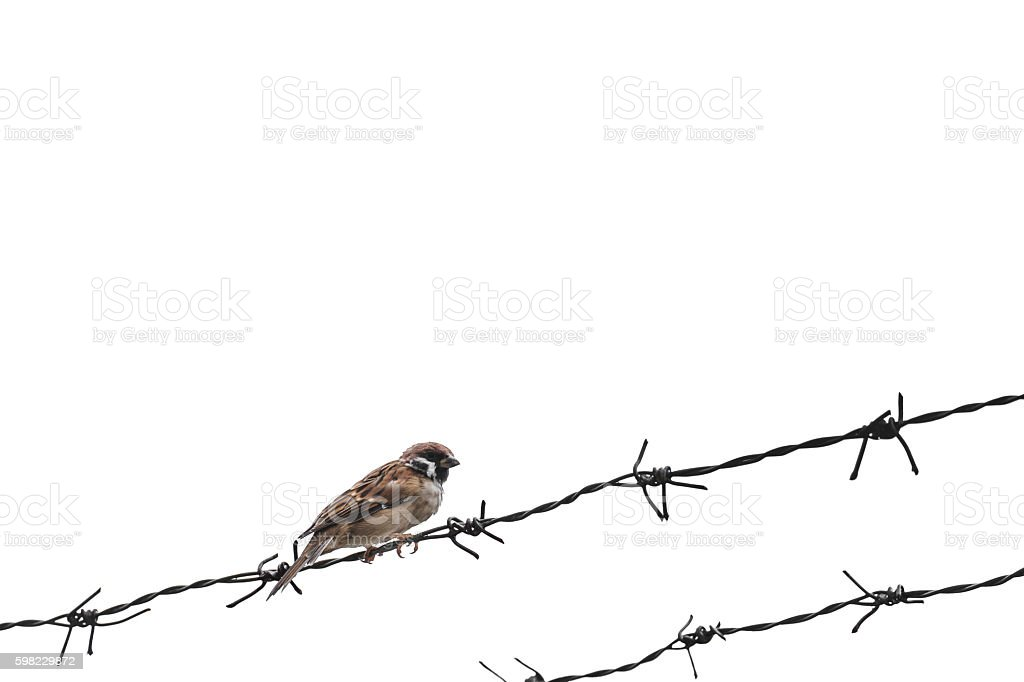 Little sparrow bird on barbed wire, selective focus, isolated foto royalty-free