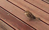 istock Little sparrow in the home terrace 905301290