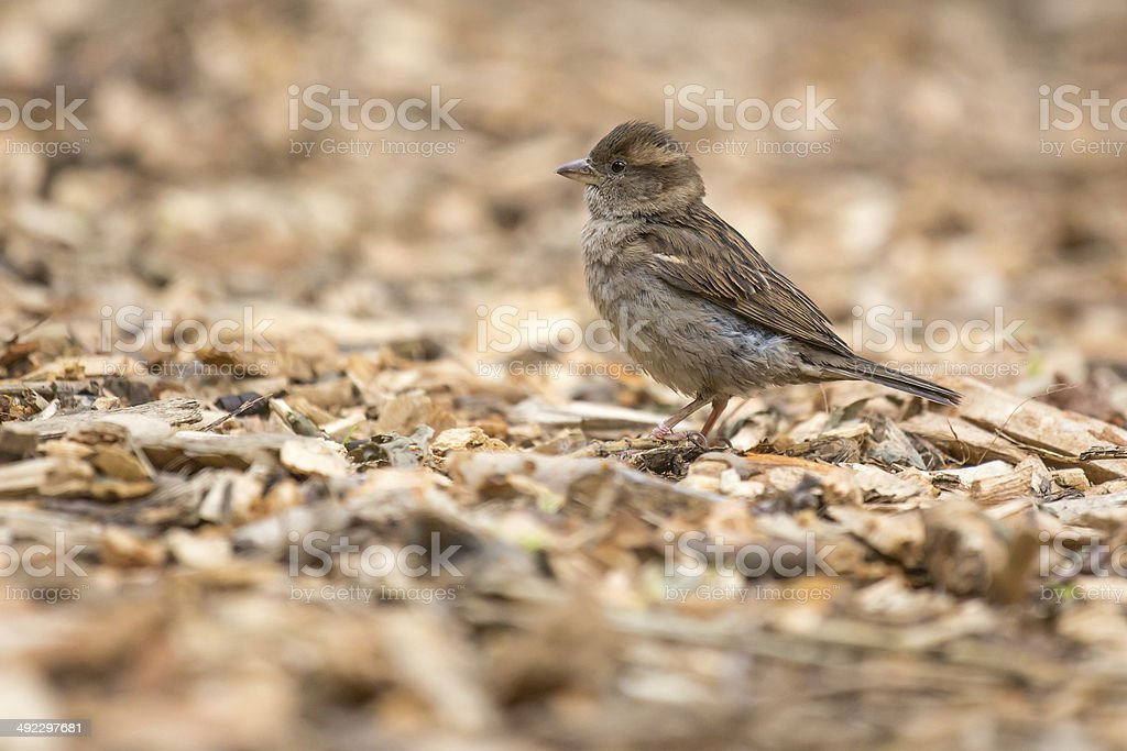 little sparrow stock photo