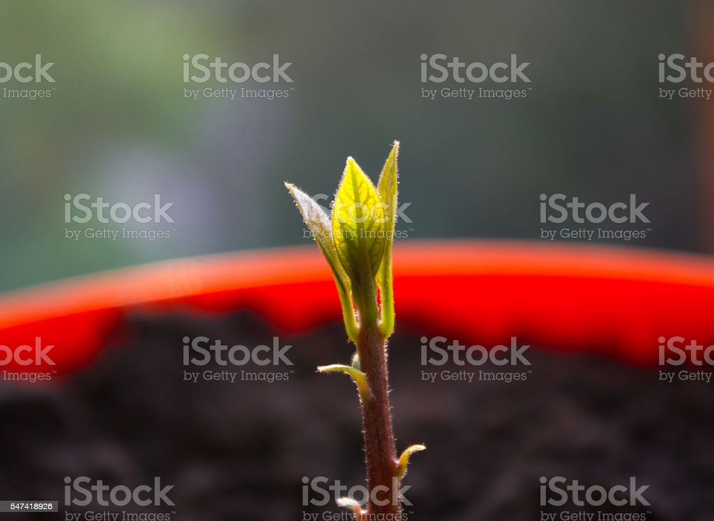 little sprout avocado stock photo