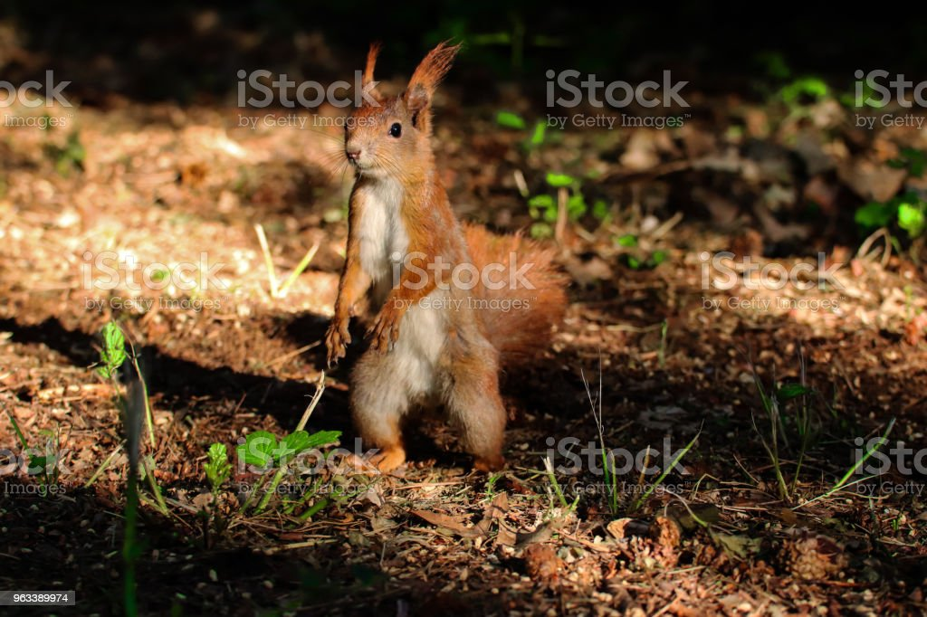 little squirrel in forest - Zbiór zdjęć royalty-free (Bez ludzi)