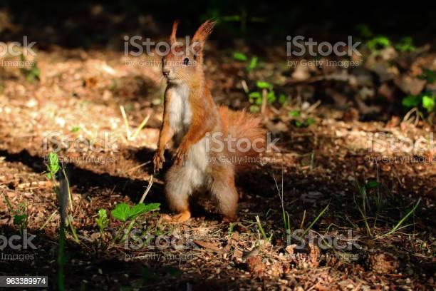 Mała Wiewiórka W Lesie - zdjęcia stockowe i więcej obrazów Bez ludzi